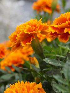 Charming Marigolds Prints Now Available